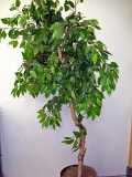 Where to rent Tree Ficus Silk  Pair in La Grande OR
